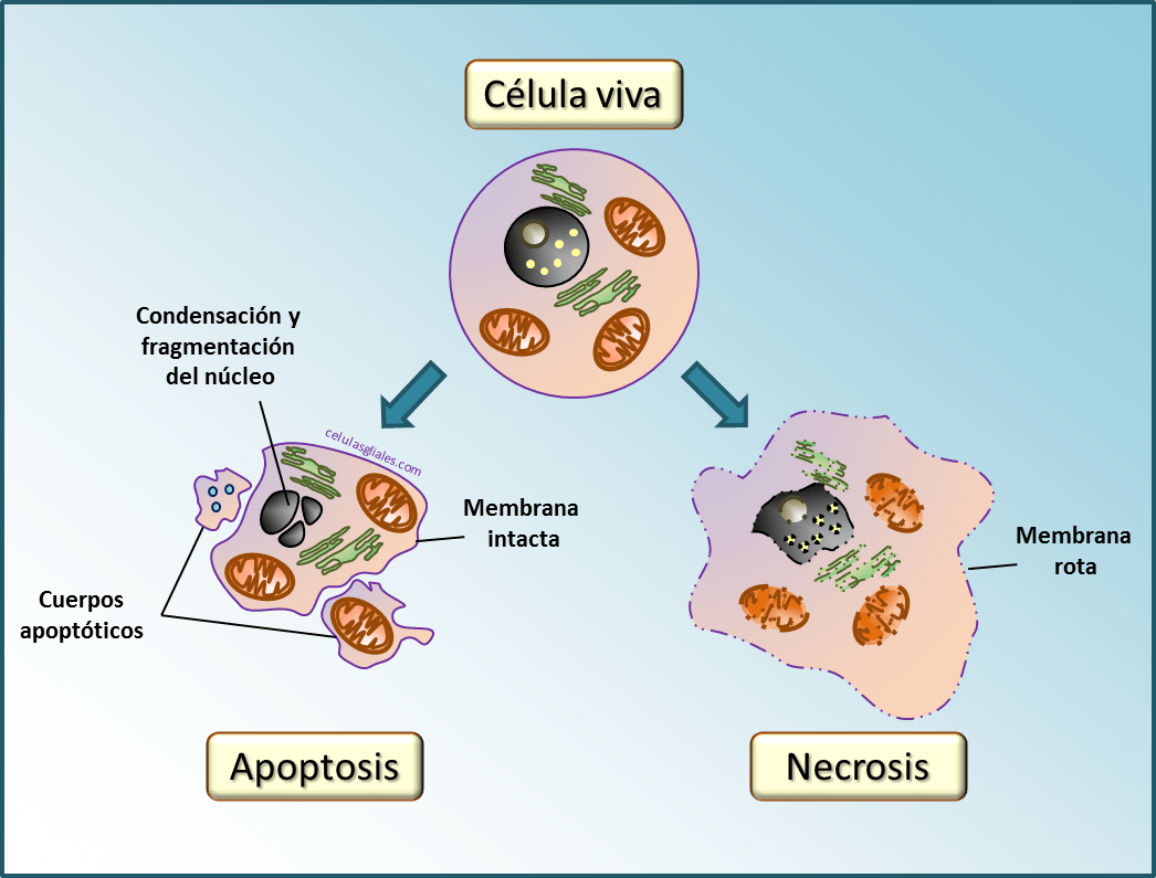 Apoptosis: una forma controlada de muerte celular